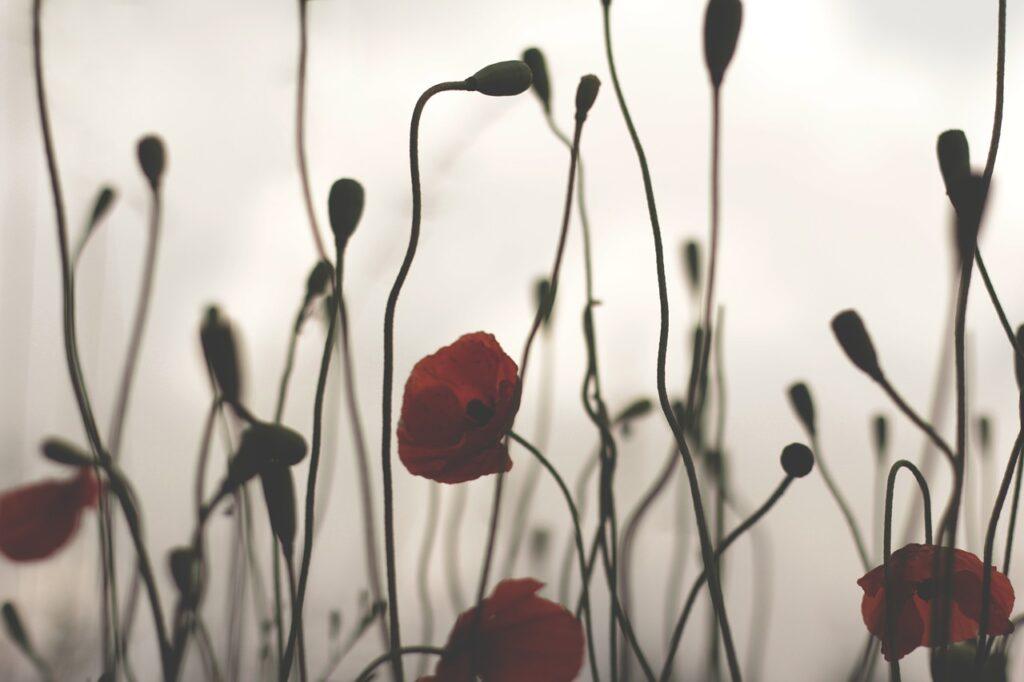 poppy, against, backlight
